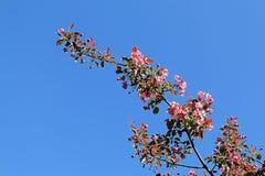 Árvore de Apple que floresce com as flores cor-de-rosa contra o céu azul fotos de stock