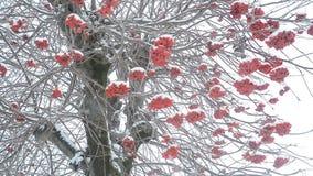 Árvore de Ashberry no inverno video estoque