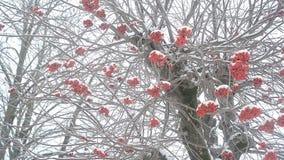 Árvore de Ashberry no inverno vídeos de arquivo