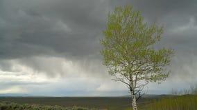 A árvore de Aspen com folhas frescas moveu-se pelo vento de tempestade filme