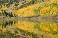 Árvore de Aspen com reflexão Fotos de Stock Royalty Free