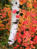 Árvore de Aspen do outono Foto de Stock