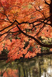Árvore de Autumn Maple do japonês da paisagem Fotografia de Stock Royalty Free