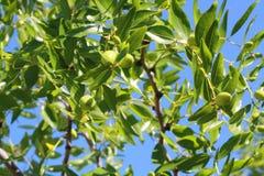 Árvore de azeitonas Foto de Stock