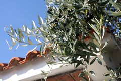 Árvore de azeitonas com azeitonas pretas no dia ensolarado imagem de stock royalty free