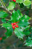 Árvore de azevinho Fotografia de Stock