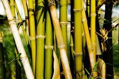 Árvore de bambu Imagens de Stock Royalty Free