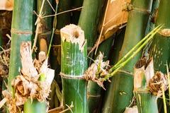 Árvore de bambu Imagem de Stock