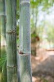 Árvore de bambu Imagem de Stock Royalty Free