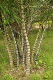 Árvore de bambu Fotografia de Stock