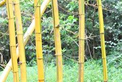 Árvore de bambu amarela fotografia de stock royalty free
