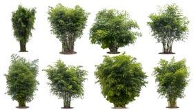 Árvore de bambu da coleção isolada no fundo branco com trajeto de grampeamento fotos de stock royalty free