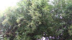 Árvore de bambu Forest Blowing na tempestade do vento e da chuva pesada abstraia o fundo vídeos de arquivo