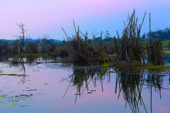 Árvore de bambu inoperante no lago Fotografia de Stock Royalty Free