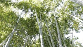 Árvore de bambu 4K video estoque