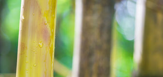 Árvore de bambu mim Fotografia de Stock Royalty Free