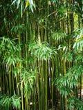 ?rvore de bambu que cresce no jardim foto de stock