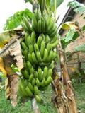 Árvore de banana Fotografia de Stock Royalty Free