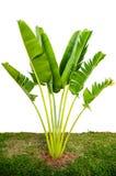 Árvore de banana Imagens de Stock