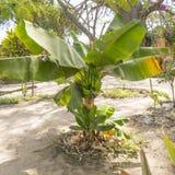 Árvore de banana Imagem de Stock Royalty Free