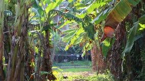 Árvore de banana video estoque
