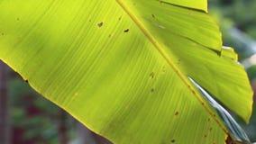 Árvore de banana vídeos de arquivo