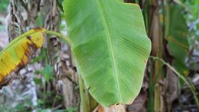 Árvore de banana filme