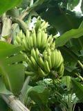 Árvore de banana - 4 Imagens de Stock Royalty Free