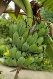 Árvore de banana Fotografia de Stock