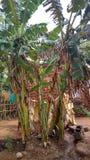 Árvore de banana foto de stock
