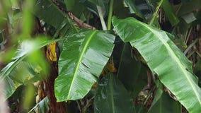 Árvore de banana com as folhas pequenas borradas no primeiro plano vídeos de arquivo