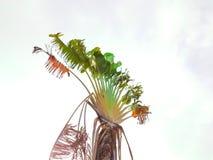 Árvore de banana com as folhas quebradas com o céu branco Fotografia de Stock