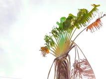 Árvore de banana com as folhas quebradas com o céu branco Fotos de Stock