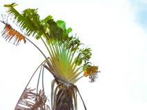 Árvore de banana com as folhas quebradas com o céu branco Foto de Stock Royalty Free