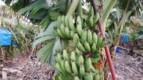 Árvore de banana com grupo de crescer bananas maduras vídeos de arquivo