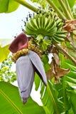 Árvore de banana com um grupo das bananas Fotografia de Stock