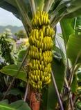 Árvore de banana com um grupo das bananas imagem de stock royalty free