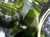 Árvore de banana-da-terra imagem de stock