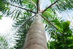 Árvore de banana de baixo de Fotos de Stock Royalty Free