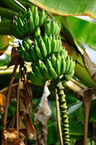 Árvore de banana em St. Thomas Fotos de Stock