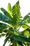 Árvore de banana em um fundo branco Fotografia de Stock Royalty Free