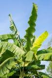 Árvore de banana em um fundo do céu azul Fotos de Stock Royalty Free
