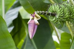 Árvore de banana frutuosa fotografia de stock royalty free