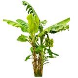 Árvore de banana isolada no fundo branco Imagem de Stock Royalty Free