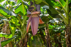 Árvore de banana na região de Paquistão Sindh imagem de stock royalty free