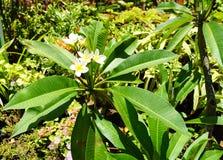 Árvore de banana no jardim fotos de stock