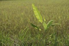 Árvore de banana pequena Foto de Stock