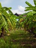 A árvore de banana verde. Fotografia de Stock