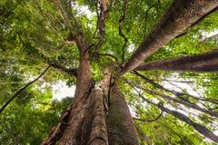 Árvore de Banyan, árvore do ficus na natureza tropical da selva Imagem de Stock Royalty Free