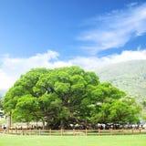Árvore de Banyan Fotografia de Stock